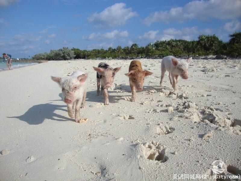swimming-pigs-2-800x600.jpg